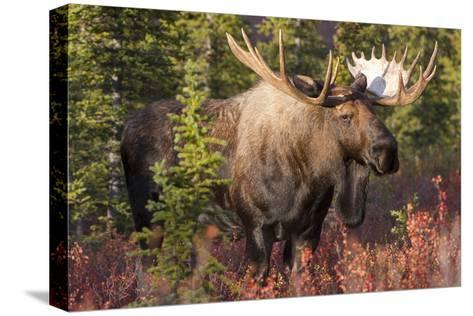 A Bull Moose, Alces Alces, Stands in the Sunlight in Denali National Park-Barrett Hedges-Stretched Canvas Print