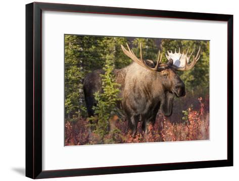 A Bull Moose, Alces Alces, Stands in the Sunlight in Denali National Park-Barrett Hedges-Framed Art Print