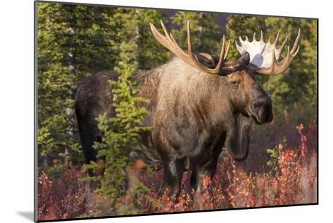 A Bull Moose, Alces Alces, Stands in the Sunlight in Denali National Park-Barrett Hedges-Mounted Photographic Print