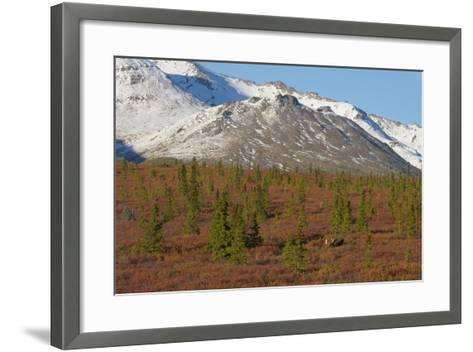 A Bull Moose, Alces Alces, Walks Through the Tundra of Denali National Park-Barrett Hedges-Framed Art Print