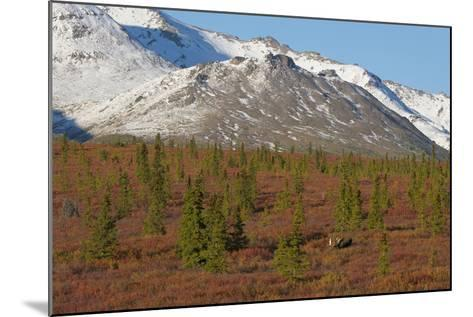 A Bull Moose, Alces Alces, Walks Through the Tundra of Denali National Park-Barrett Hedges-Mounted Photographic Print