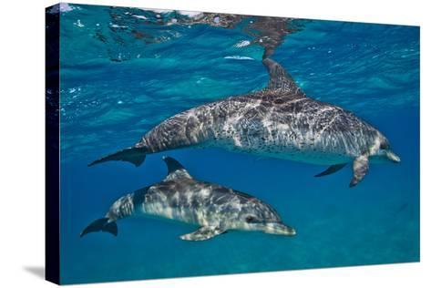 Two Atlantic Spotted Dolphins Swimming in Clear Water-Jim Abernethy-Stretched Canvas Print