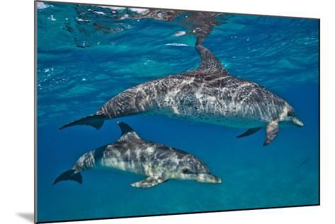 Two Atlantic Spotted Dolphins Swimming in Clear Water-Jim Abernethy-Mounted Photographic Print