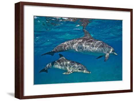 Two Atlantic Spotted Dolphins Swimming in Clear Water-Jim Abernethy-Framed Art Print