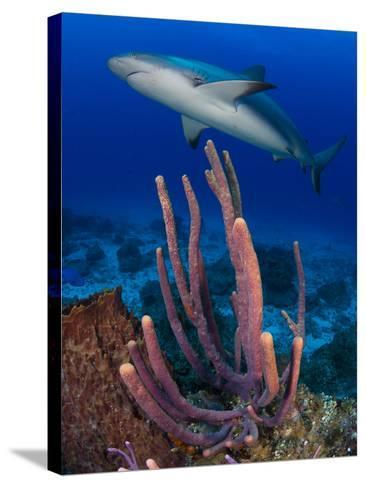 A Caribbean Reef Shark Swimming over a Reef-Jim Abernethy-Stretched Canvas Print