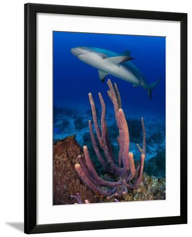 A Caribbean Reef Shark Swimming over a Reef-Jim Abernethy-Framed Art Print