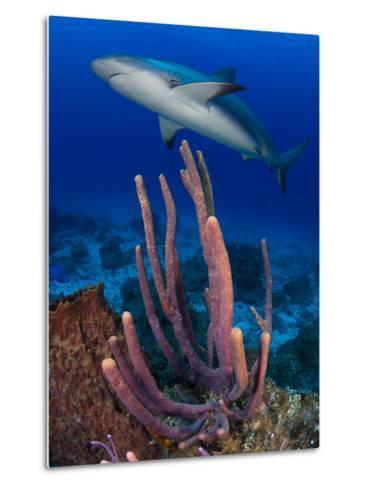 A Caribbean Reef Shark Swimming over a Reef-Jim Abernethy-Metal Print