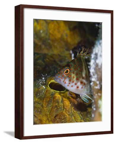 A Red Spotted Hawkfish Hiding Among Sponges-Jim Abernethy-Framed Art Print
