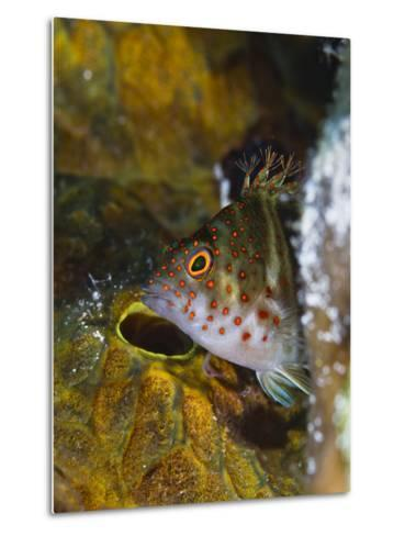 A Red Spotted Hawkfish Hiding Among Sponges-Jim Abernethy-Metal Print
