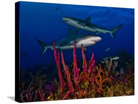 Caribbean Reef Sharks Swimming over a Colorful Reef-Jim Abernethy-Stretched Canvas Print