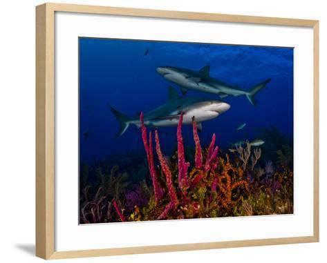 Caribbean Reef Sharks Swimming over a Colorful Reef-Jim Abernethy-Framed Art Print