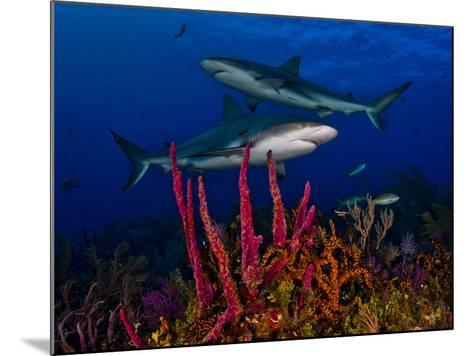 Caribbean Reef Sharks Swimming over a Colorful Reef-Jim Abernethy-Mounted Photographic Print