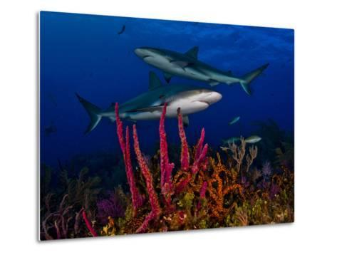 Caribbean Reef Sharks Swimming over a Colorful Reef-Jim Abernethy-Metal Print