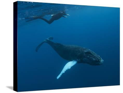 A Snorkeler Swims with a Humpback Whale Calf-Cesare Naldi-Stretched Canvas Print