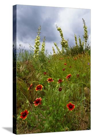 Fire Wheel and Soapweed Yucca Flowers Bloom in the Cather Prairie Reserve-Michael Forsberg-Stretched Canvas Print