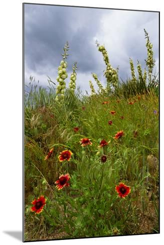 Fire Wheel and Soapweed Yucca Flowers Bloom in the Cather Prairie Reserve-Michael Forsberg-Mounted Photographic Print