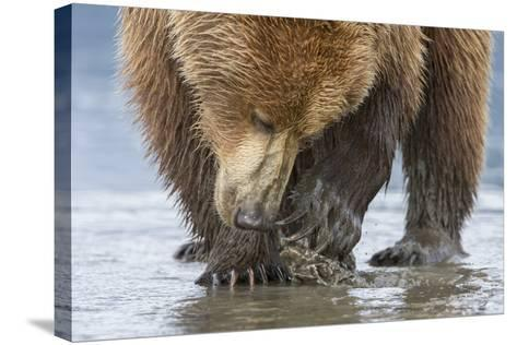 A Grizzly Bear, Ursus Arctos Horribilis, Opening a Clam with its Claws-Barrett Hedges-Stretched Canvas Print
