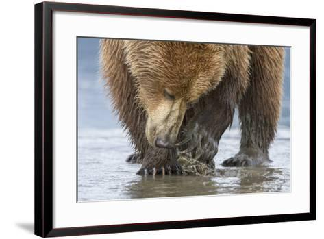 A Grizzly Bear, Ursus Arctos Horribilis, Opening a Clam with its Claws-Barrett Hedges-Framed Art Print