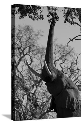Elephant Stretching Trunk Up to Graze from a Tree in Northern Botswana-Beverly Joubert-Stretched Canvas Print