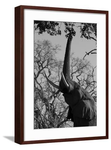 Elephant Stretching Trunk Up to Graze from a Tree in Northern Botswana-Beverly Joubert-Framed Art Print