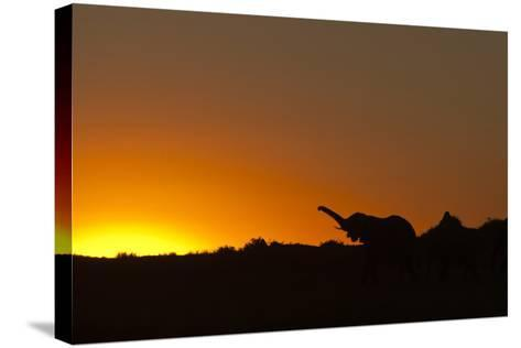 Elephant with Raised Trunk Silhouette in Sunset in Northern Botswana-Beverly Joubert-Stretched Canvas Print