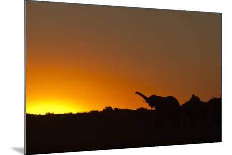 Elephant with Raised Trunk Silhouette in Sunset in Northern Botswana-Beverly Joubert-Mounted Photographic Print