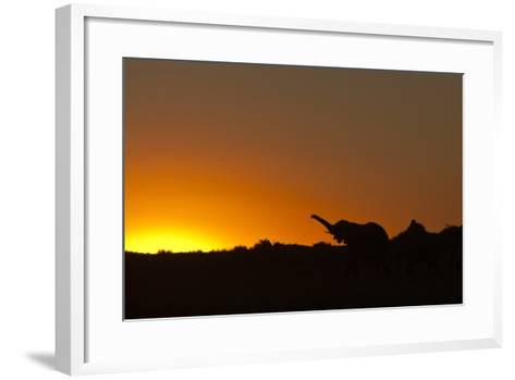 Elephant with Raised Trunk Silhouette in Sunset in Northern Botswana-Beverly Joubert-Framed Art Print