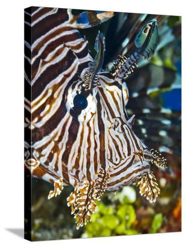 Close Up Portrait of a Lionfish-Jim Abernethy-Stretched Canvas Print