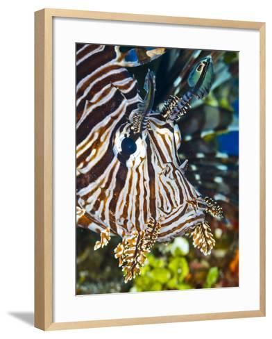 Close Up Portrait of a Lionfish-Jim Abernethy-Framed Art Print