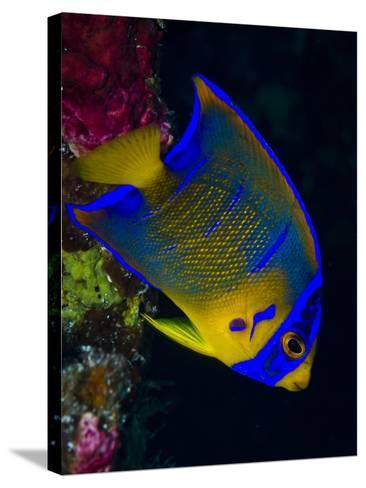 Portrait of a Juvenile Queen Angelfish Swimming-Jim Abernethy-Stretched Canvas Print