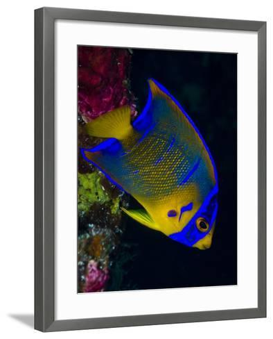 Portrait of a Juvenile Queen Angelfish Swimming-Jim Abernethy-Framed Art Print