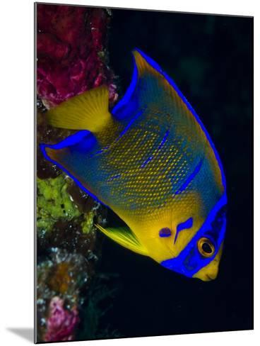 Portrait of a Juvenile Queen Angelfish Swimming-Jim Abernethy-Mounted Photographic Print