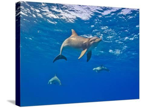 Three Bottlenose Dolphins Swimming in Clear Blue Water-Jim Abernethy-Stretched Canvas Print