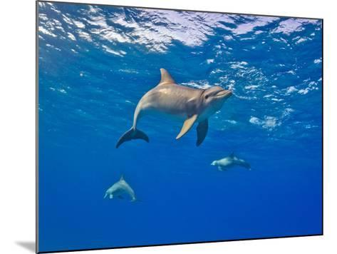Three Bottlenose Dolphins Swimming in Clear Blue Water-Jim Abernethy-Mounted Photographic Print