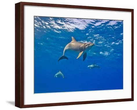 Three Bottlenose Dolphins Swimming in Clear Blue Water-Jim Abernethy-Framed Art Print