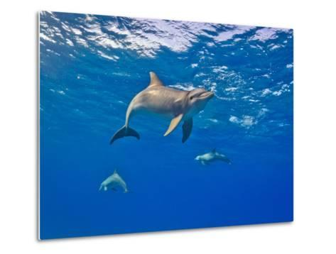 Three Bottlenose Dolphins Swimming in Clear Blue Water-Jim Abernethy-Metal Print