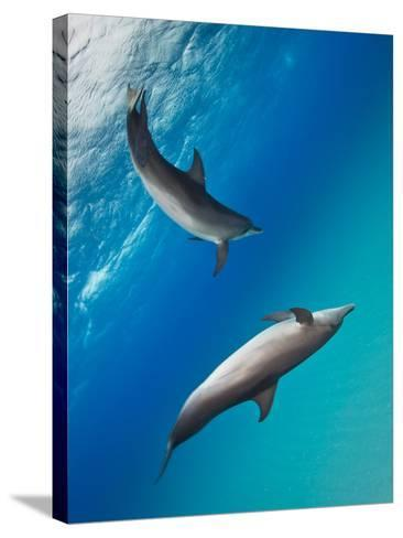 Two Atlantic Spotted Dolphins Swimming in Clear Blue Water-Jim Abernethy-Stretched Canvas Print