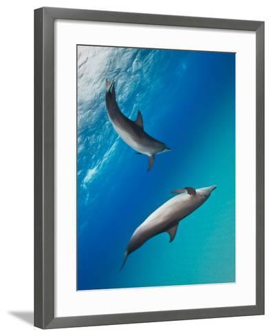 Two Atlantic Spotted Dolphins Swimming in Clear Blue Water-Jim Abernethy-Framed Art Print