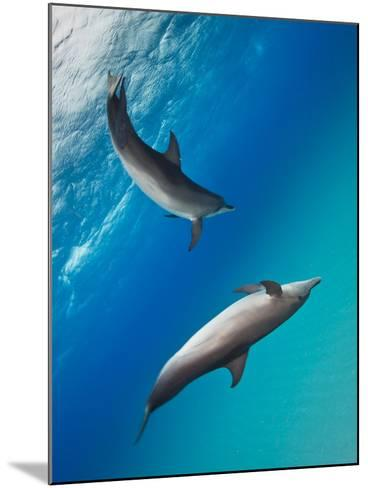 Two Atlantic Spotted Dolphins Swimming in Clear Blue Water-Jim Abernethy-Mounted Photographic Print
