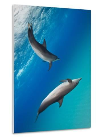 Two Atlantic Spotted Dolphins Swimming in Clear Blue Water-Jim Abernethy-Metal Print