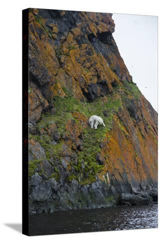 A Polar Bear Descends a Cliff on a Small Island in Search of Little Auks-Andy Mann-Stretched Canvas Print