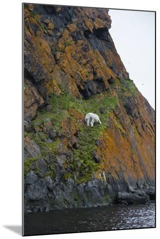 A Polar Bear Descends a Cliff on a Small Island in Search of Little Auks-Andy Mann-Mounted Photographic Print