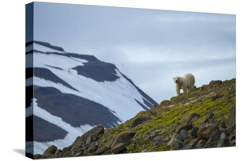 A Polar Bear on a Small Island on the Lookout for Little Auks-Andy Mann-Stretched Canvas Print