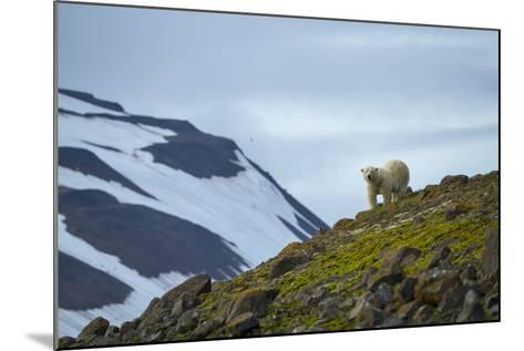 A Polar Bear on a Small Island on the Lookout for Little Auks-Andy Mann-Mounted Photographic Print