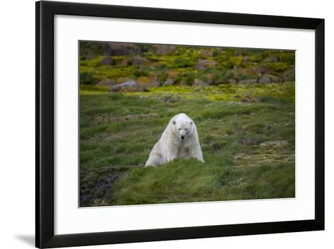 A Polar Bear on Small Island Where He Eats Little Auks-Andy Mann-Framed Art Print