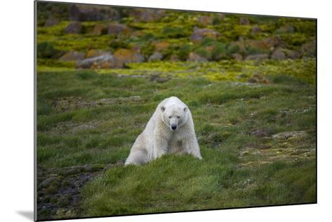 A Polar Bear on Small Island Where He Eats Little Auks-Andy Mann-Mounted Photographic Print