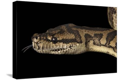 A Coastal Carpet Python, Morelia Spilota Mcdowelli, at the Wild Life Sydney Zoo-Joel Sartore-Stretched Canvas Print