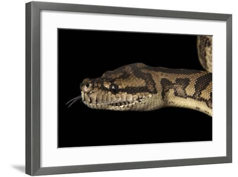 A Coastal Carpet Python, Morelia Spilota Mcdowelli, at the Wild Life Sydney Zoo-Joel Sartore-Framed Art Print