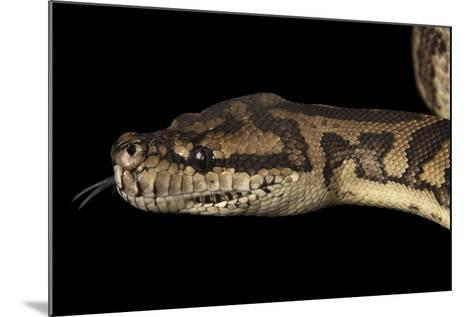A Coastal Carpet Python, Morelia Spilota Mcdowelli, at the Wild Life Sydney Zoo-Joel Sartore-Mounted Photographic Print