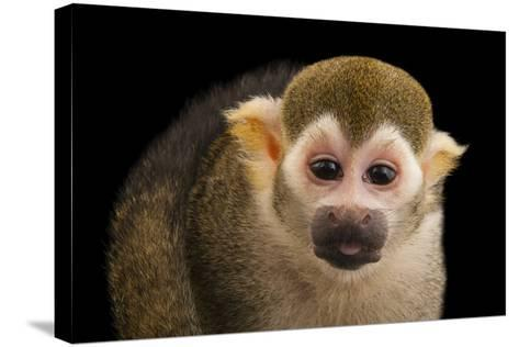 A Common Squirrel Monkey, Saimiri Sciureus, at the Lincoln Children's Zoo-Joel Sartore-Stretched Canvas Print